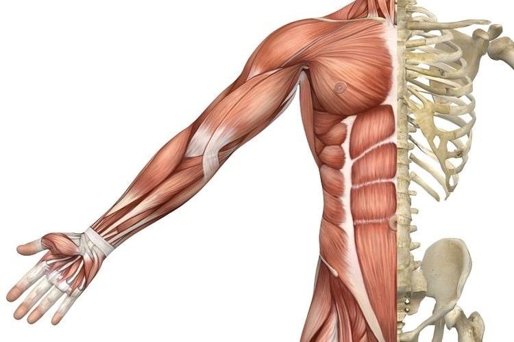 ossa e muscoli